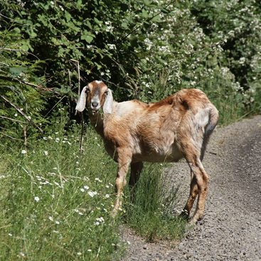 a photo of a wild goat along a gravel trail