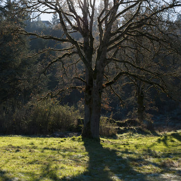 photo of an oak at Canemah Bluff
