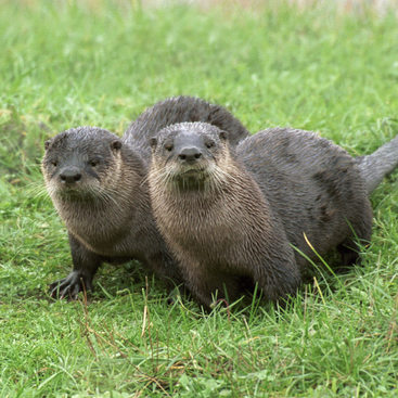 photo of two otters