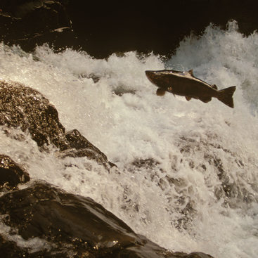 photo of a fish jumping in a river