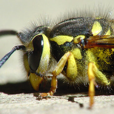 photo of a yellowjacket