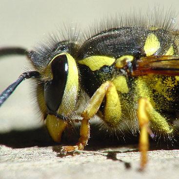 photo of a yellowjacket