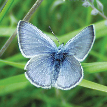Blue butterfly on blades of grass