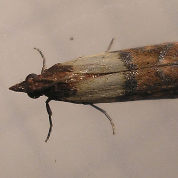 photo of a meal moth