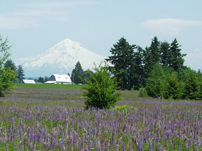 photo of Mount Hood and a field of lupine
