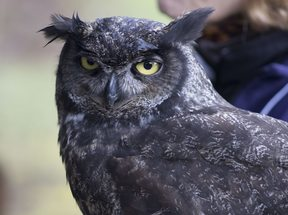 photo of great horned owl