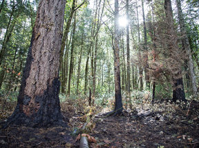 photo of fire damage to tree trunks and forest vegetation
