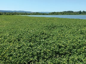 photo of ludwigia at Smith and Bybee Wetlands