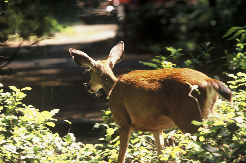 photo of a deer at Oxbow Regional Park