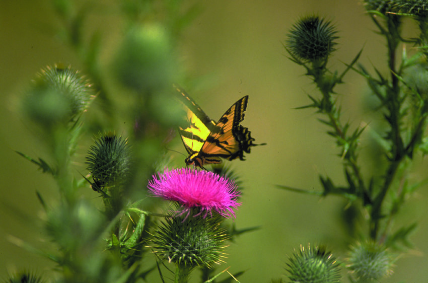 photo of a butterfly on thistle
