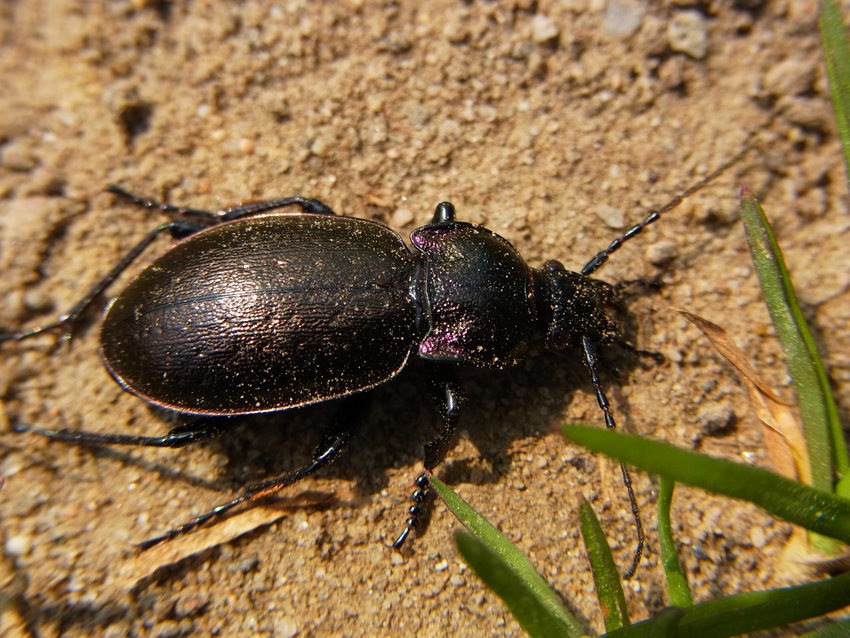 photo of a black ground beetle