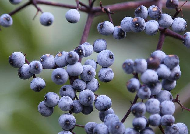 photo of blue elderberries