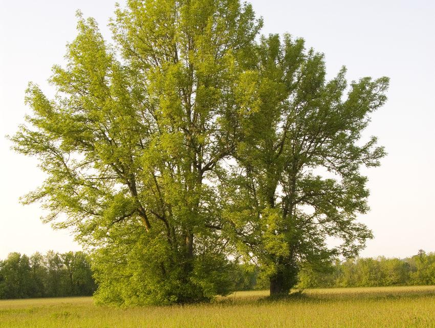 photo of Oregon white oak at Gotter Prairie