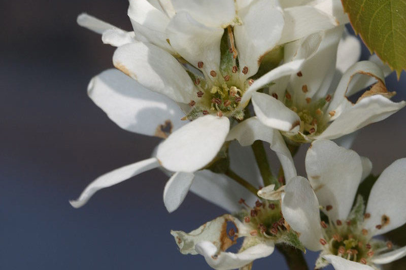 photo of western serviceberry flowers