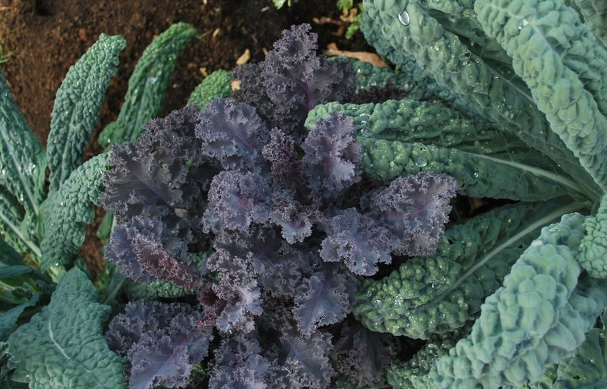 Image of red and green kale growing in garden