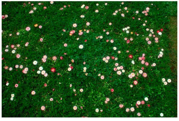 photo of flower mix lawn alternative