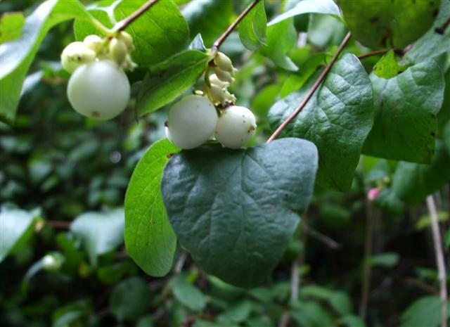 photo of white snowberries