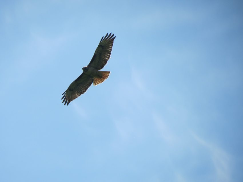 photo of red-tailed hawk at West Bliss Butte by site steward Phil Nosler