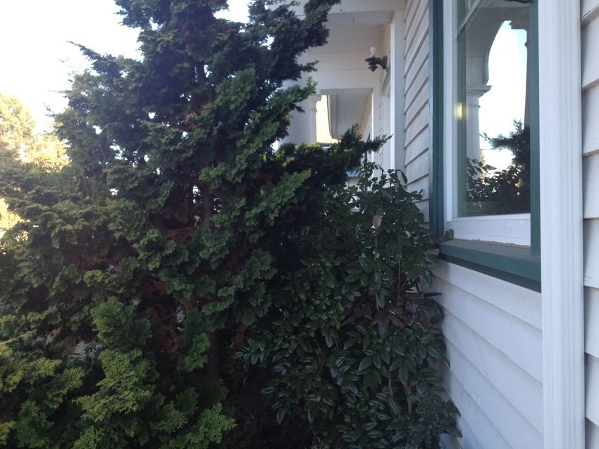 photo of shrubs planted too close to house