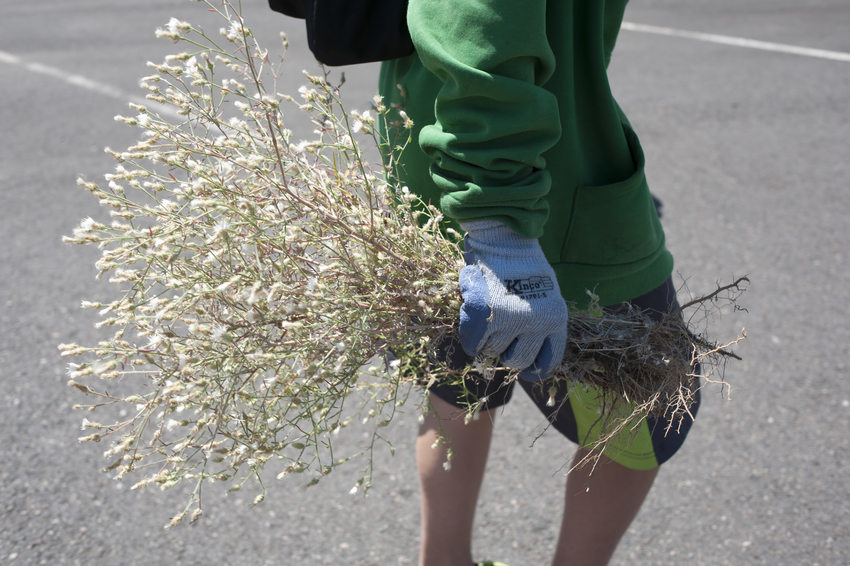 photo of a volunteer pulling knapweed