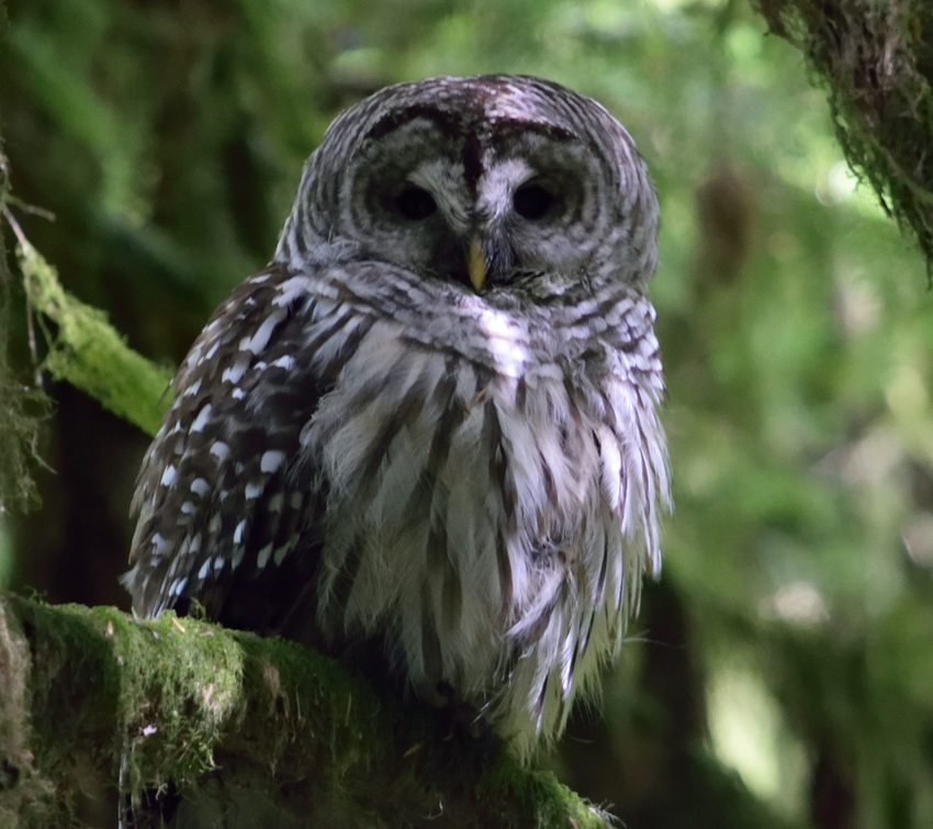 Owl resting on a mossy branch.