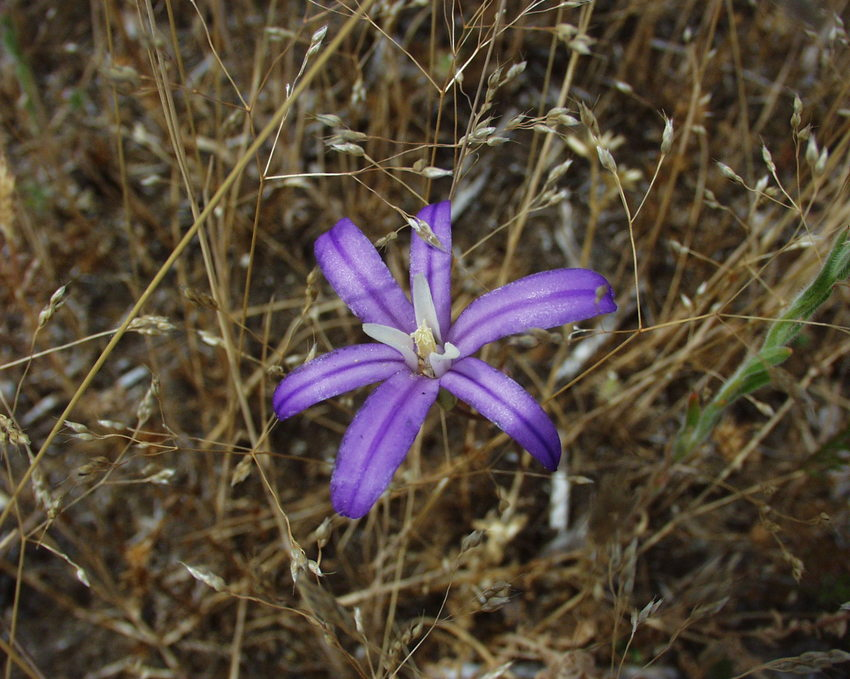 photo of brodiaea
