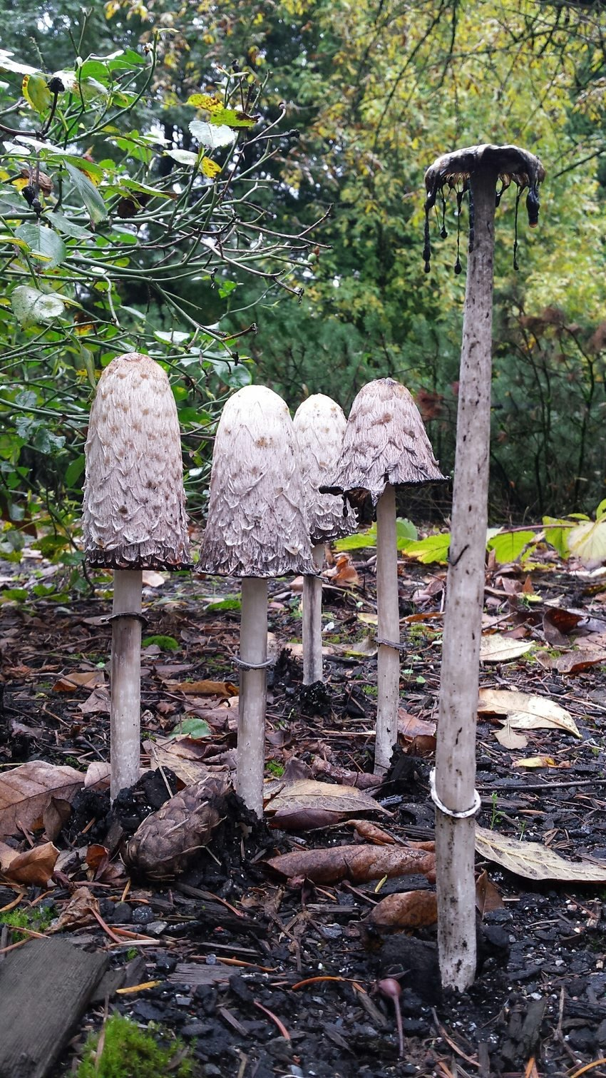 shaggy manes mushrooms