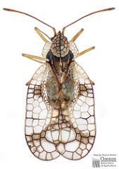 Azalea lace bug illustration