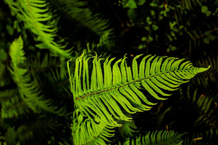photo of sword fern at Oxbow Regional Park