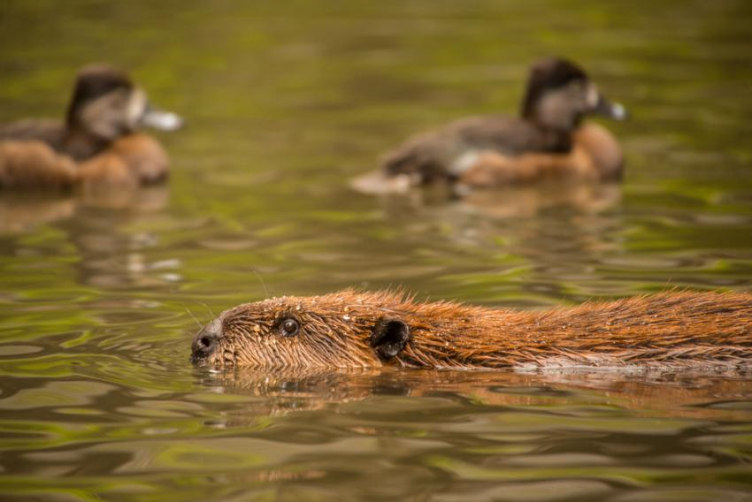 photo of a swimming beaver and ducks