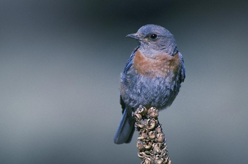 photo of western bluebird