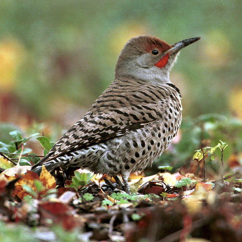 Northern Flicker standing on leaf-covered forest floor