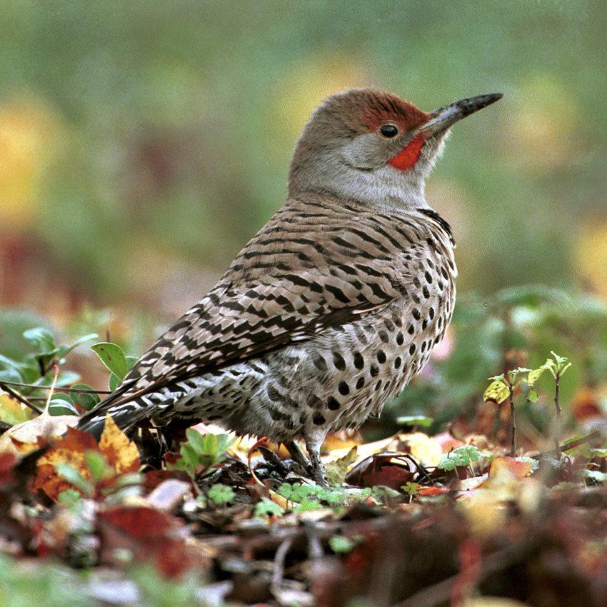 Northern Flicker standing on leaf-covered forest floor