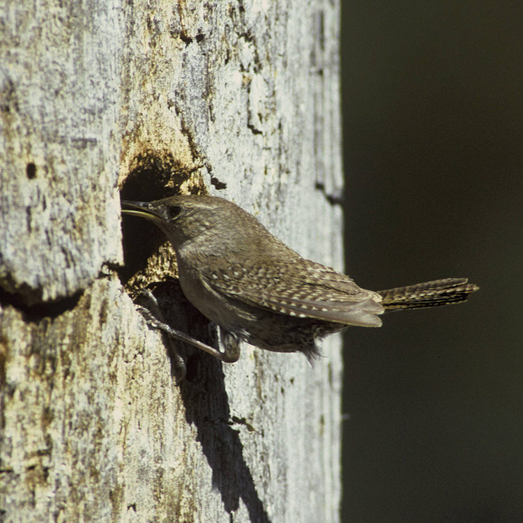 house wren with nest inside hollowed tree trunk