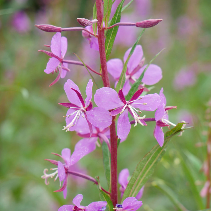 fireweed flowers in bloom