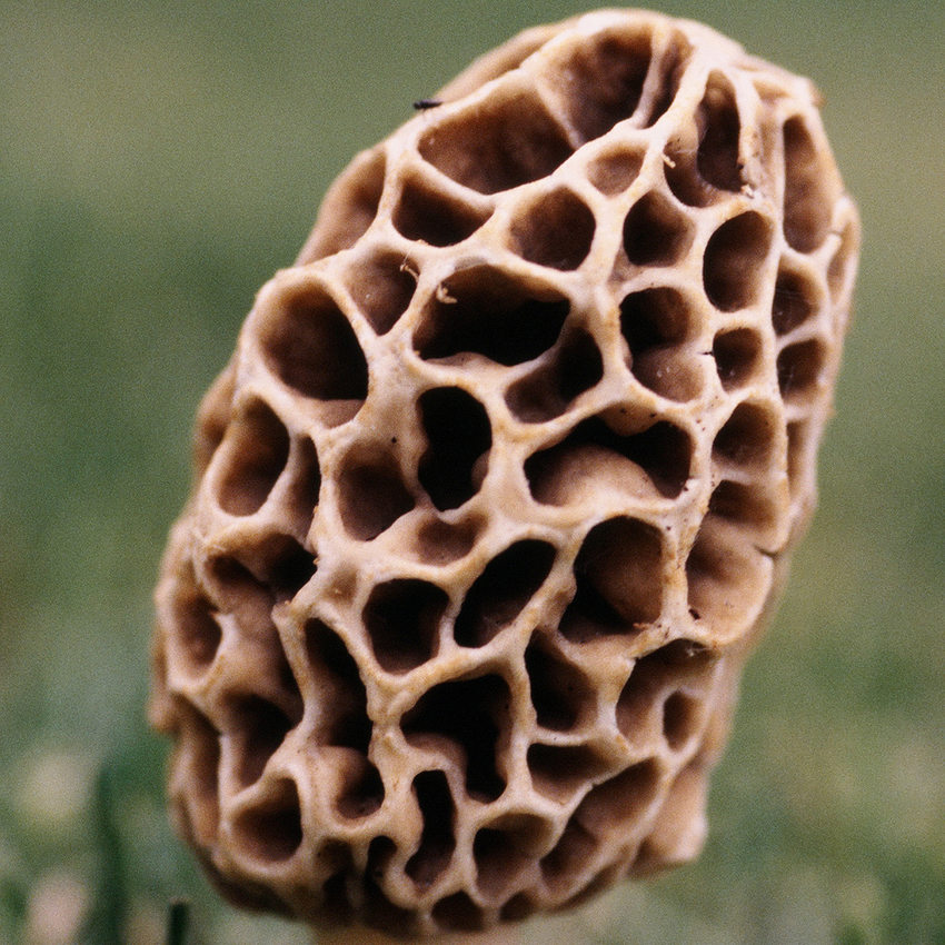 close up view of morel mushroom