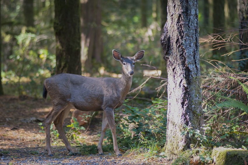 photo of deer at Oxbow Regional Park