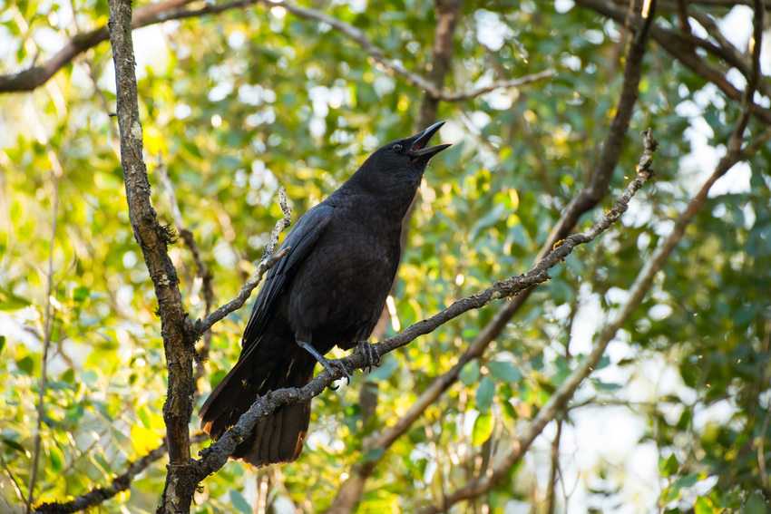 photo of a crow vocalizing
