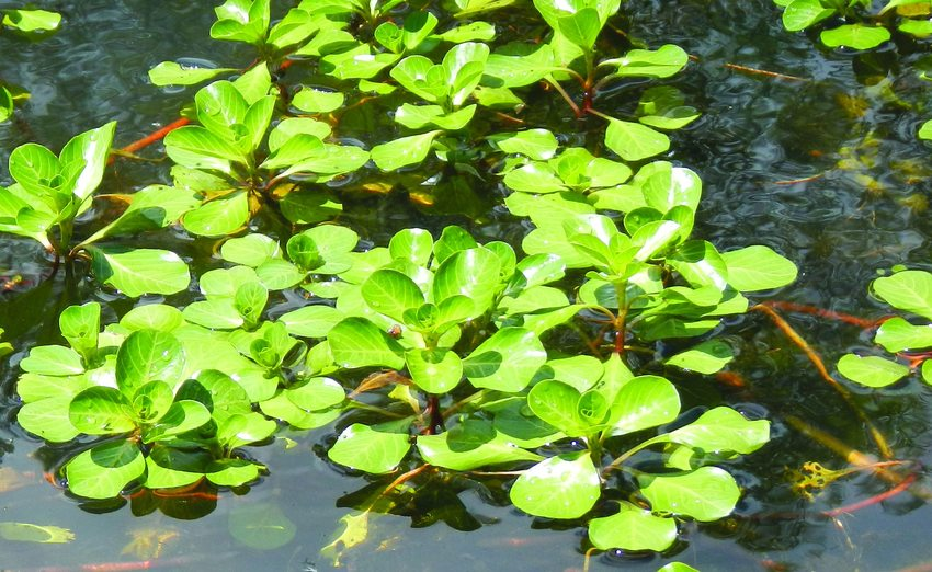 photo of Ludwigia hexapetala