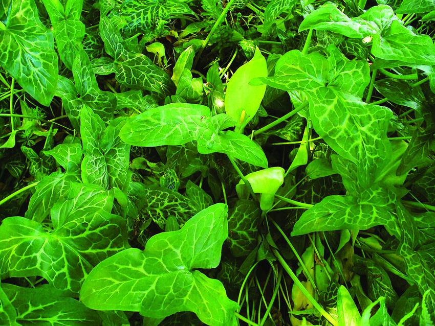 photo of Italian arum