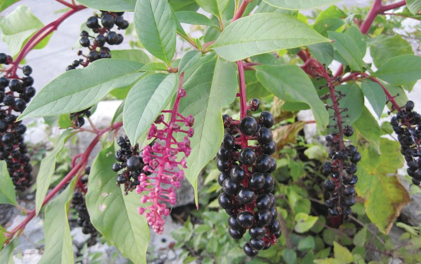 photo of pokeweed