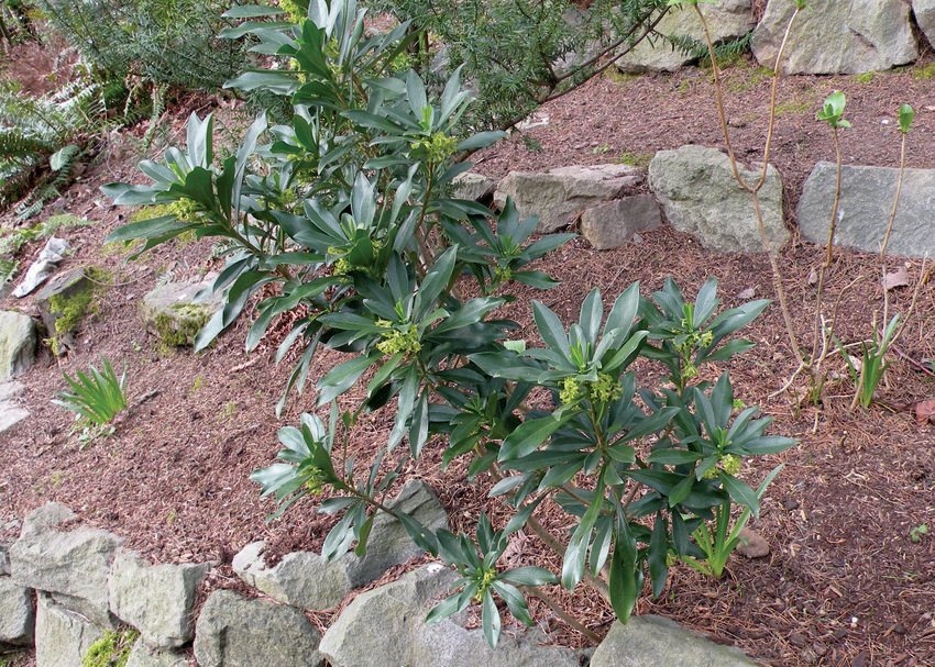 photo of spurge laurel