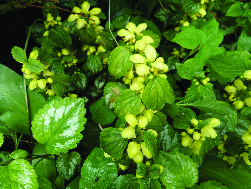 photo of yellow archangel