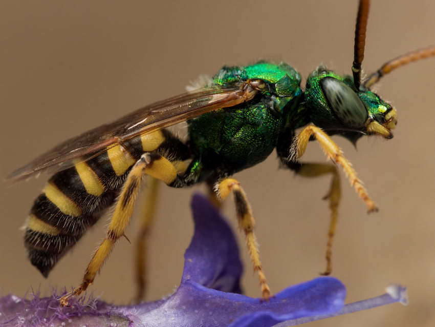 photo of metallic green sweat bee