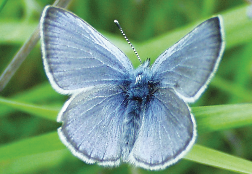 photo of silvery blue butterfly