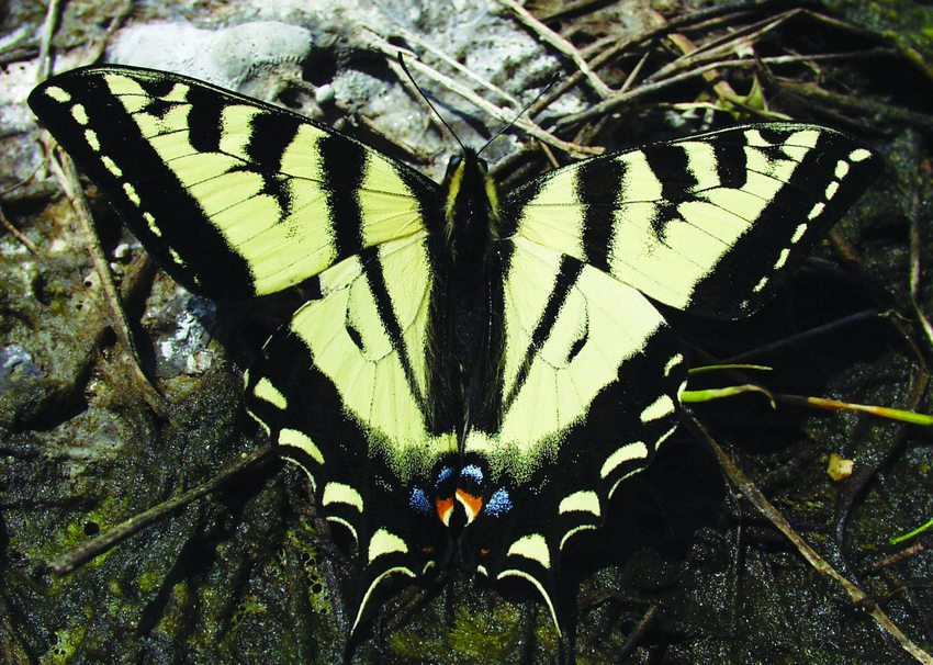 photo of western tiger swallowtail