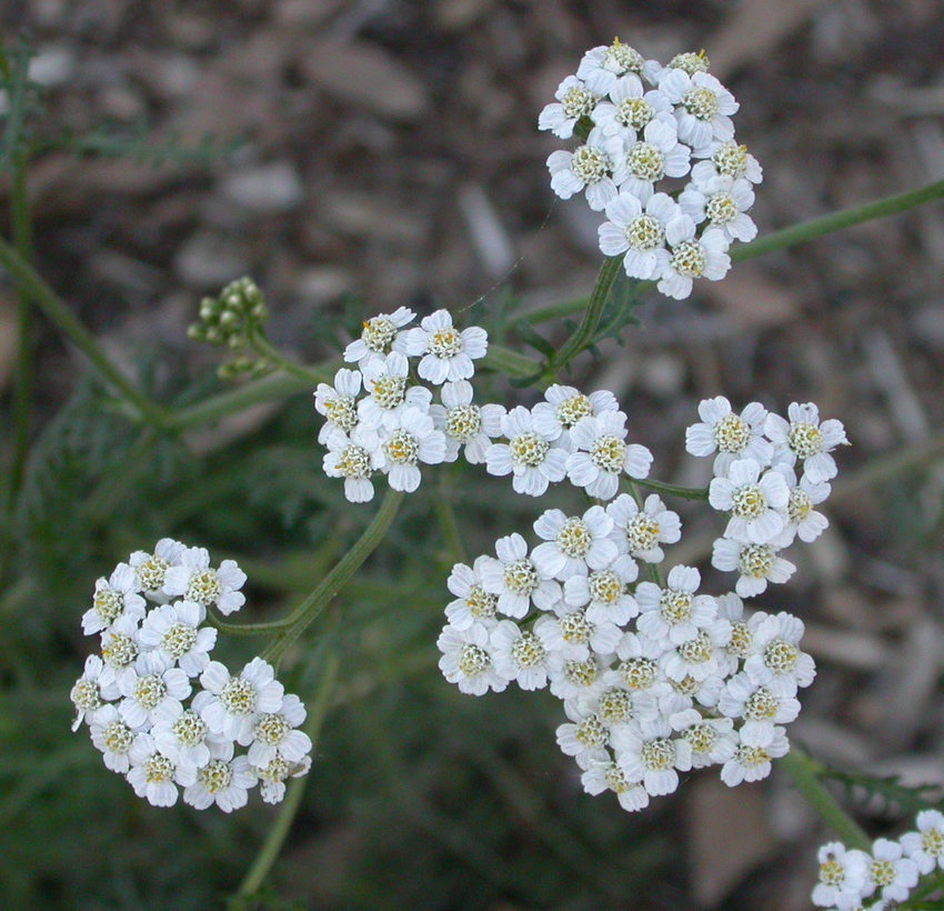 photo of yarrow