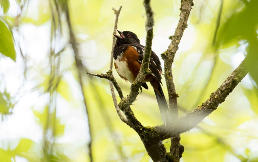 photo of spotted towhee bird singing