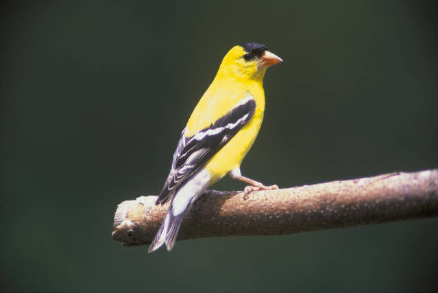American Goldfinch resting on branch.