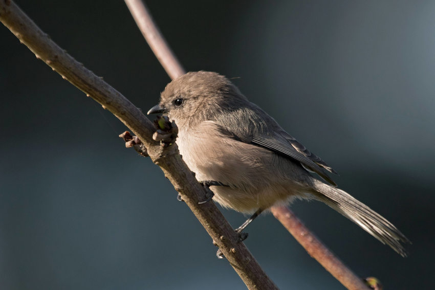 Bushtit standing on branch.